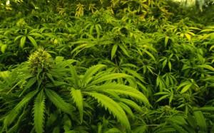 marijuana_2719454b